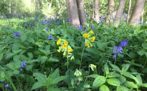 bluebells and cowslips