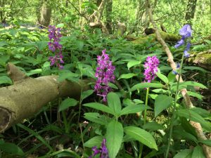 bluebells and orchids